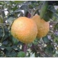 Kg sevillian bitter oranges to prepare your ecologic marmalades