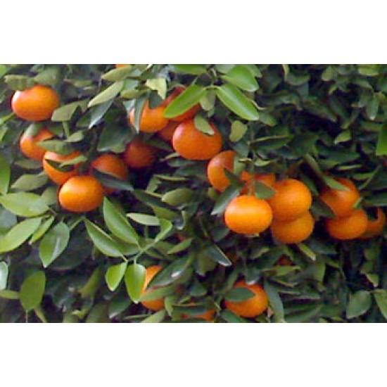 Kg Mandarinas Sevillanas Tradicionales