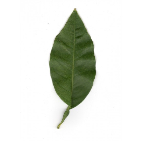 Ecologic Leaves of Sevillian Sweet Orange trees