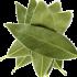 Hojas de Laurel Ecológico