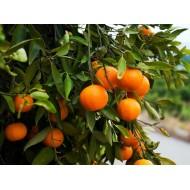 """Kg Sevillian Sweet Ecologic Oranges """"Navelina"""" sized 6-7"""