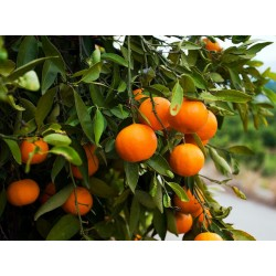 "Kg Sevillian Sweet Ecologic Oranges ""Navelina"" sized 6-7"
